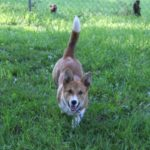 Thursday Adoptables: Brother and Sissy — The Tails of Two Corgis!