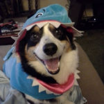 Shark Week, Corgi Style: Ollie!