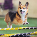 Simon: Shelter Dog to Agility Ace!