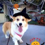 Happy Halloween Corgi Nation!