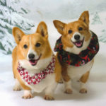 Saturday Corgi Smilers: Cowboy and Priya!