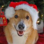 Here Comes #Corgi Claus!