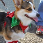 Corgis in Virginia Christmas Parade!