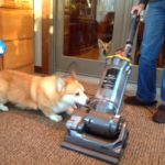 Charlie the #Corgi vs. The Hoover