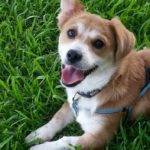 #Corgi Smile Cam: Cooper!