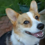 Thursday Adoptables: Buster the #Corgi of Minnesota