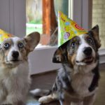 Saturday #Corgi Smilers: Lucy and Andy!