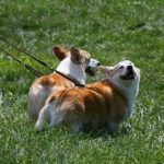 Saturday #Corgi Smilers: Royal Trude and Copper John!