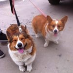 Thursday #Corgi Adoptables: Bully, Doty and Good News for Spike!
