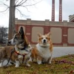 Team Daily #Corgi at the AKC National Agility Championship: Day 3 WRAP-UP!