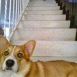 I always feel like some Corgi's watching me …