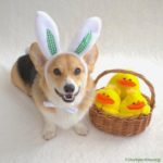 It's the Easter #Corgi, Charlie Brown!