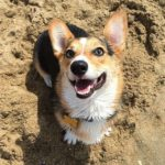 Photo Fun: Southern California #Corgi Spring Beach Day!