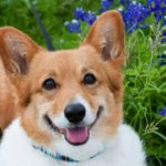 Got Texas bluebonnets, a smiling #Corgi and a camera?