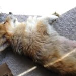 38 Sleeping #Corgis (and another Jasper haiku).