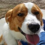 Thursday #Corgi Adoptables: Paulie the Lovable Butthead*!