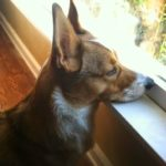 #Corgi Window Watchers: Friday ENCORE!