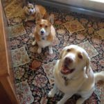 #Corgi (and Lab) Smile Cam: Bruce, Zoey and Oakley!