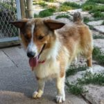 Thursday #Corgi Adoptables: Boo of Kansas!