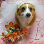 A Very #Corgi Wedding Week: Ernie Corgi and Chloe Anne Johnson!