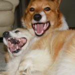 #Corgi Smile Cam: Ozzie and Angie of Australia!