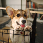 Arizona's Sparkle the #Corgi: It's All About the PLAYTIME!