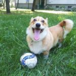 Bend It Like Bajka! #Corgi On The Ball …