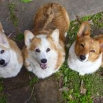Saturday #Corgi Smilers: Ernie, Ozzy, and Angie!