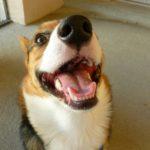 Saturday #Corgi Smiler: Spark Plug!