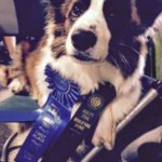 #Cardigan Corgi Love: Olathea and Her New Blue Ribbons!