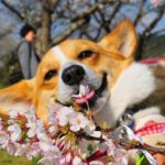 Saturday Smiler: Cherry Blossom #Corgi!