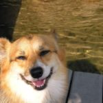Dog on a Blog: Fidgit the #Corgi of Rhode Island