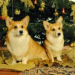 Joy To The World, The #Corgis Have Come!