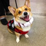 Merlin The Sweater #Corgi and the Perks of Celebrity!