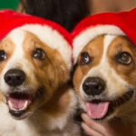 Saturday #Corgi Smilers: Christmas Edition!