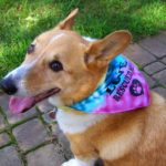 Thursday Adoptables Happy Ending: A Holiday Update from Spike the #Corgi!