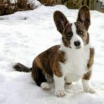 Cardigan Welsh #Corgi Love: Bryn of Switzerland!