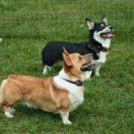 Saturday #Corgi Smilers: Hunter and Pippin!