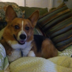 Ten Questions with Nigel Downey the #Corgi!