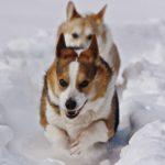 Corgin' In A Winter Wonderland — Day Two!