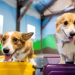 A Rootin' Tootin' A #Corgi Party!