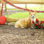 Valentine #Corgis Week: Day One!