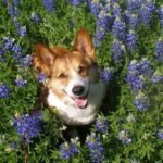 33 #Corgi Smiles in Meadows of Texas Bluebonnets!