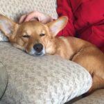 Thursday #Corgi Adoptables: Zoey's Happy Ending!