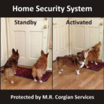 #Corgi Home Security Squad: Max and Rosie