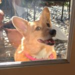 Back By Popular Demand: 35 Window Watching #Corgis, Two Cats, and a Baby!