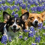 Twelve Smiling #Corgis In Meadows of Texas Bluebonnets!