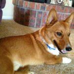 You're A Good Dog, Charlie #Corgi!