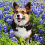 More Smiling #Corgis in Meadows of Texas Bluebonnets!