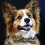 All Tied Up : 21 #Corgis In Neckties (and Nine In Bowties!)